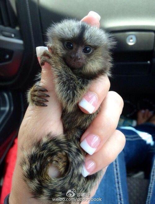 Finger Monkeys are the smallest monkeys you'll have ever ...